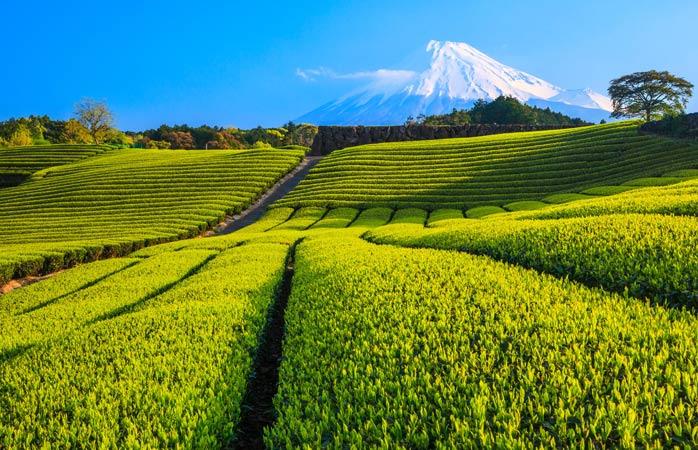O Monte Fuji olhando sobre os campos de chá verde de Shizuoka