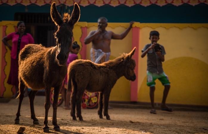 Burros e humanos vivem lado a lado na Ilha de Mannar. Algo característico do turismo no Sri Lanka para esta localização © Natalie Soysa